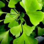 Ginko-Biloba-herbal-benefits