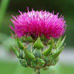 Milk-thistle-benefits