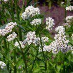 valerian-root-herbal-benefits